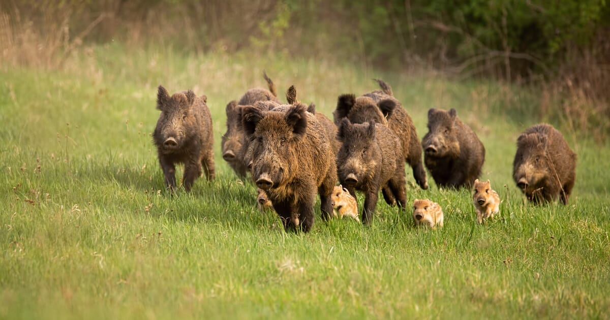 What US farmers can do while African swine fever continues to spread in Asia - The Pig Site