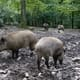South Korea orders military to target wild boar to stop spread of ASF thumbnail image