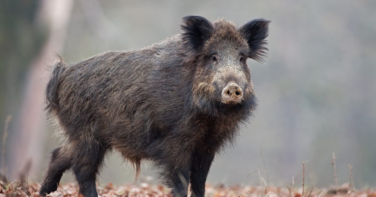 South Korea reports rise in wild boar infected with African swine ...