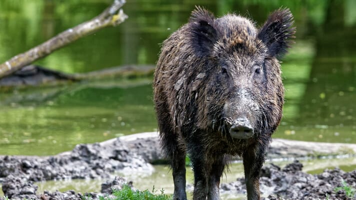 Measures implemented to combat African swine fever in Germany thumbnail image