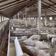 China's pig herd nears recovery, but hog prices are still volatile thumbnail image