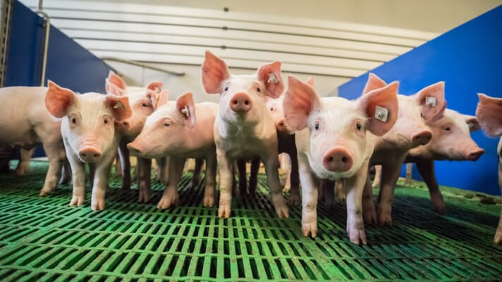Pig outlook: Lean hog futures bulls need to stop the bleeding thumbnail image