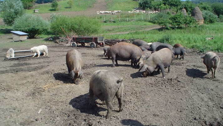 The role of outdoor farms in the spread of African swine fever in Europe thumbnail image