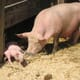 Scientists investigate reasons for increase in sow mortality thumbnail image