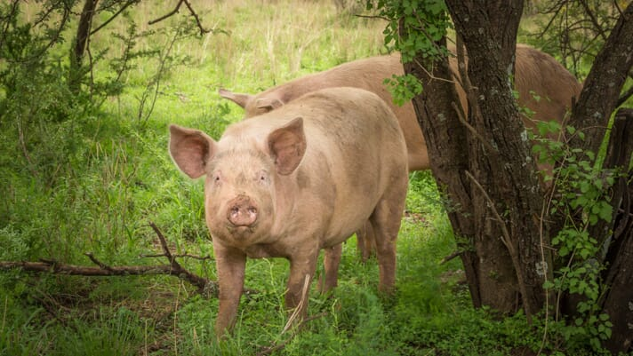 Characterising outdoor pig production in Europe thumbnail image