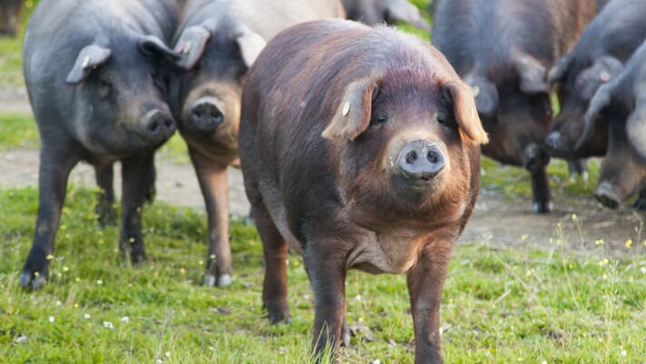 Spain's hog industry strong despite trials thumbnail image