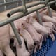 Medicated mother's milk could relieve processing pain in piglets thumbnail image