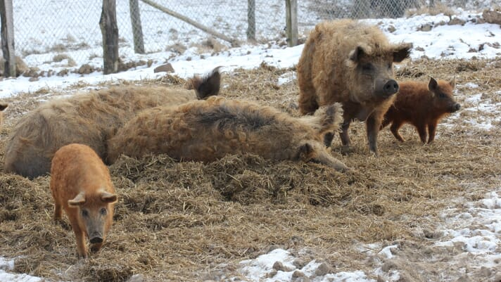 Top tips for managing farrowing in cold weather thumbnail image