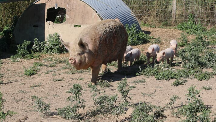 Small-scale pig keeping: preventing parasite build up in small-scale systems thumbnail image
