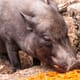 Malaysian swine breeders given two months to improve biosecurity thumbnail image