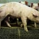 China pork producers surge as swine disease cuts supply thumbnail image