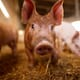 Are sweet vaccines the future for pigs and poultry? thumbnail image