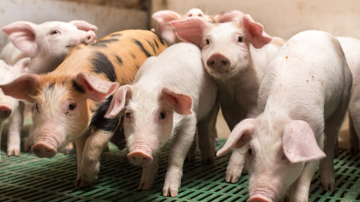 Solutions for ending painful piglet procedures thumbnail image
