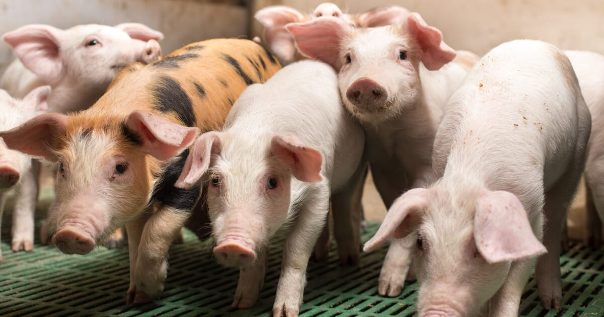 Solutions for ending painful piglet procedures | The Pig Site