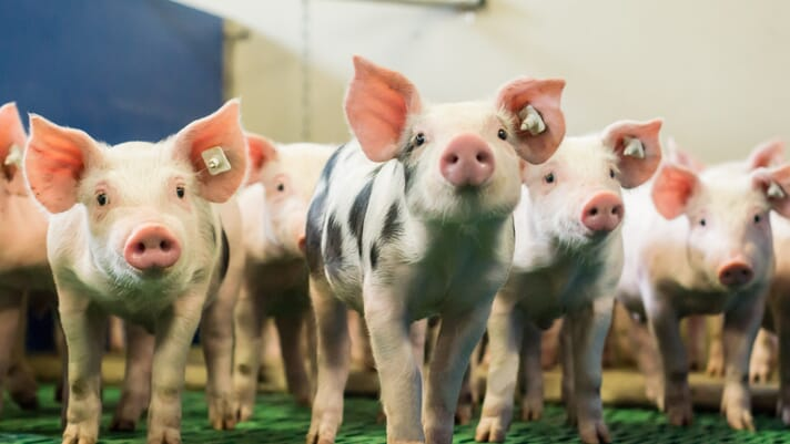 Which stages in pig production are most responsible for emission of antibiotic resistant genes? thumbnail image