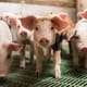 Probiotics improve competitiveness of Canadian swine sector thumbnail image