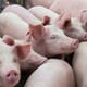 China's biggest pig farmer hopes to triple pig sales by 2024 thumbnail image