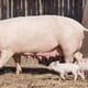 How can we ensure high welfare for farmed pigs? thumbnail image