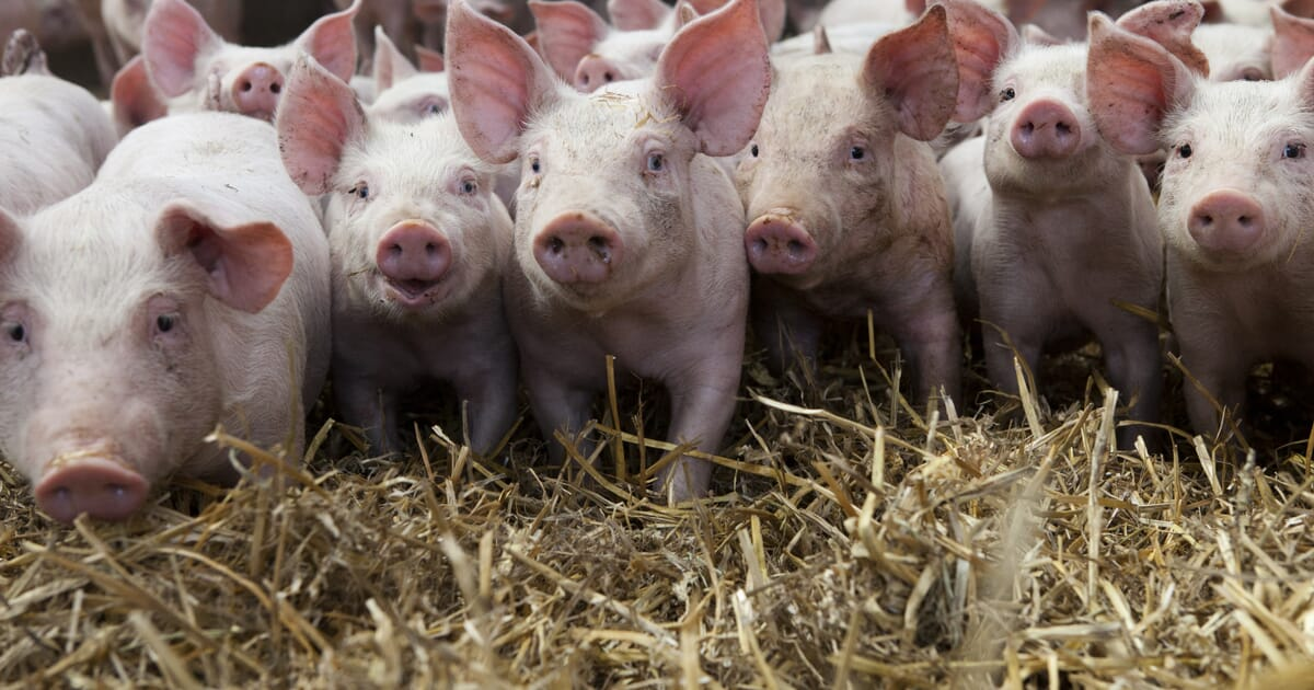 Swine Reports | Agricultural Marketing Service