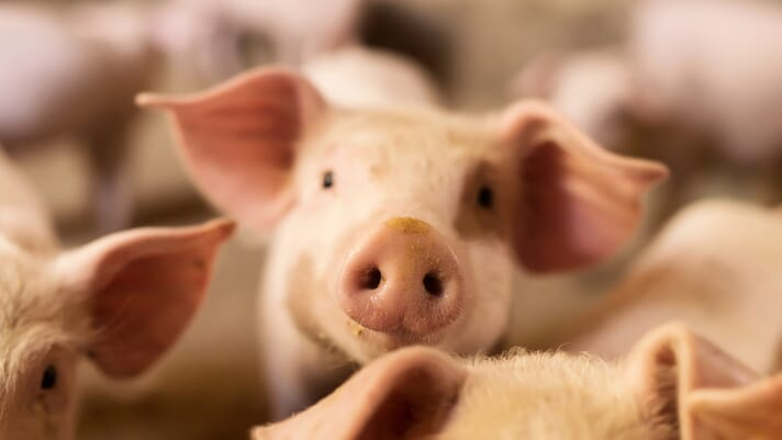 Steps to mitigate cross-contamination of piglet processing fluids with PRRS MLV thumbnail image