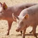 Jim Long Pork Commentary: Lean hog prices gain strength thumbnail image