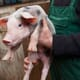 Pig outlook: time to lock in future feed needs thumbnail image