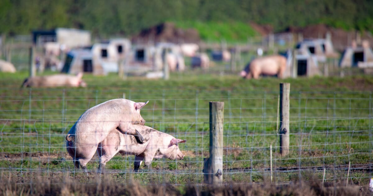 Selecting breeding stock | The Pig Site