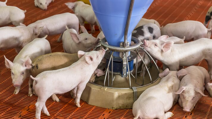 Gene editing research sheds light on sex determination in pigs thumbnail image