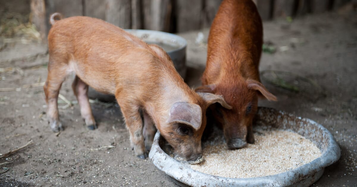 Coping with feed costs in Nigeria | The Pig Site