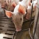 The risk of feed ingredients transporting African swine fever thumbnail image