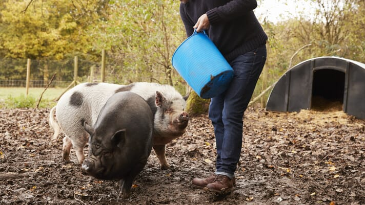 Small-scale pig keeping: can natural remedies match licensed medicines? thumbnail image