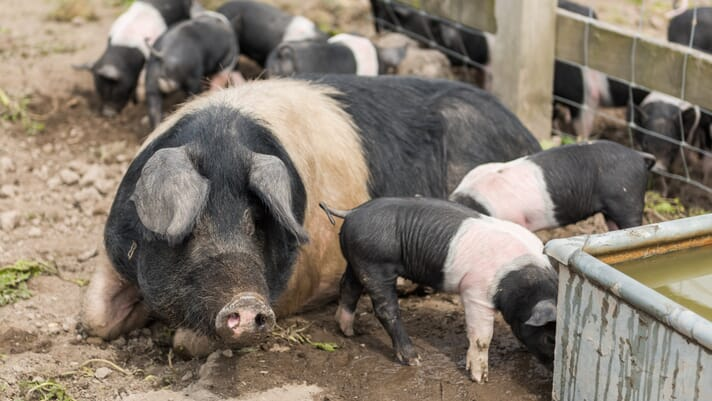 Small-scale pig keeping: the importance of water for pig health thumbnail image