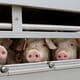 Action plans and training key to humane euthanasia of pigs thumbnail image