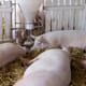 How can precision feeding reduce aggression in your pig herd? thumbnail image