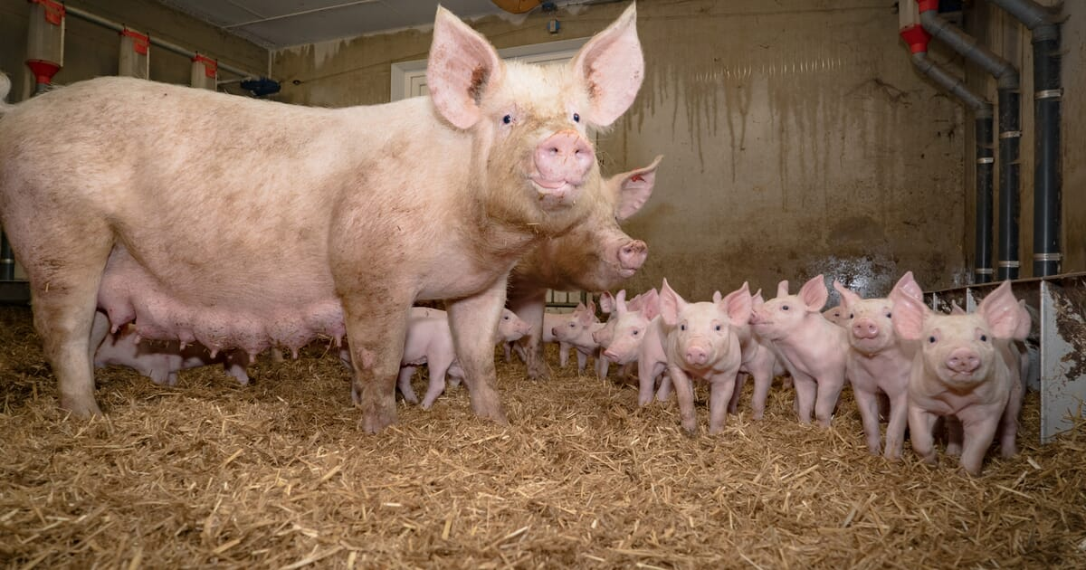 Introduction to group lactation pens reduces harmful behaviour in piglets |  The Pig Site