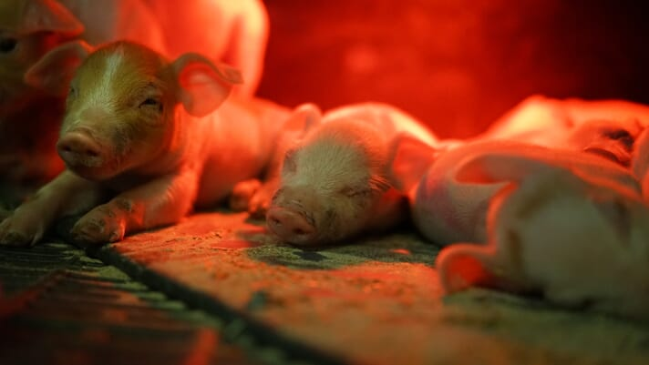 Small-scale pig keeping: the fundamentals of farrowing thumbnail image