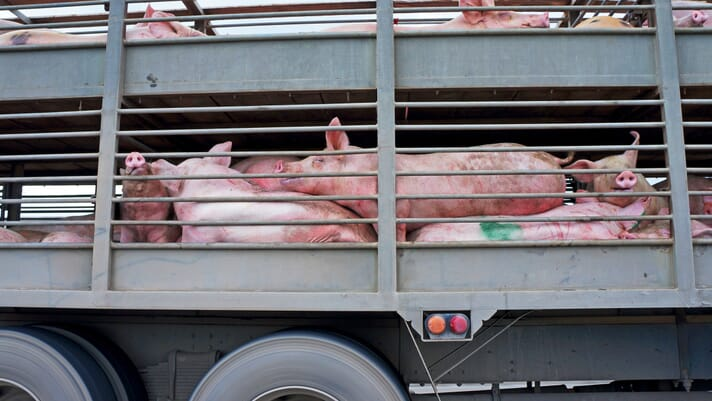 Taiwan bans import of live pigs and pork products from Italy thumbnail image