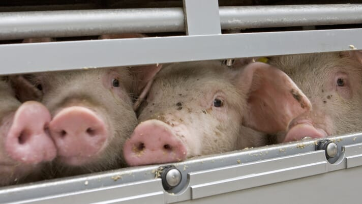 Small-scale pig keeping: pig transport regulations in the UK thumbnail image