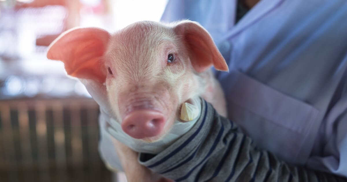 Elon Musk's Neuralink puts computer chips in pig's brain | The Pig Site