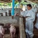 Myanmar Pig Partnership prepares producers for disease outbreaks thumbnail image