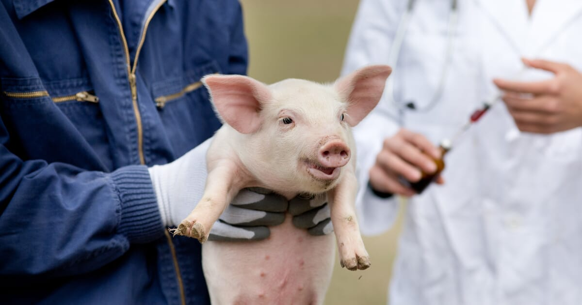The ban on routine castration in Europe – is it progressing? | The