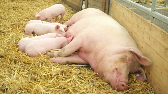 Enriching sow environment and diet improves sow welfare and early piglet survival thumbnail image