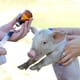 Could swine fever be dwelling in your holiday souvenirs? thumbnail image