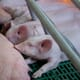 Expert speaks on volatility, mega-trends, role of early life in pig productivity and profitability thumbnail image