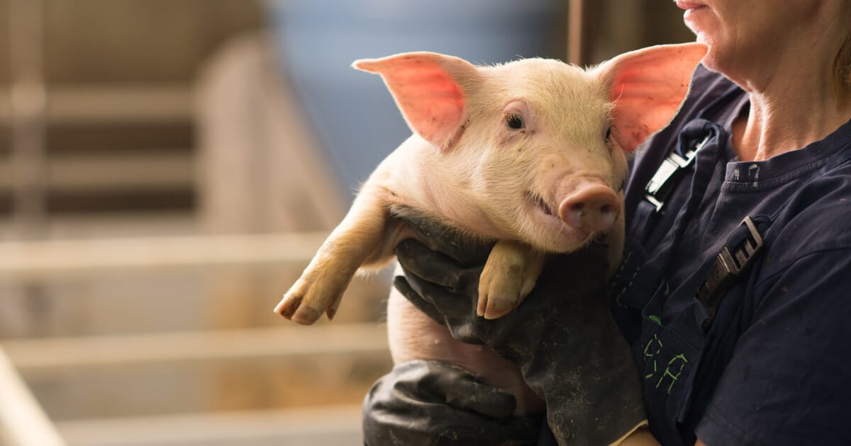 Nutritional Value of Soy Products Fed to Pigs | The Pig Site