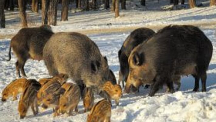 Jim Long Pork Commentary: ASF Germany – One pig turns the pig world upside down thumbnail image