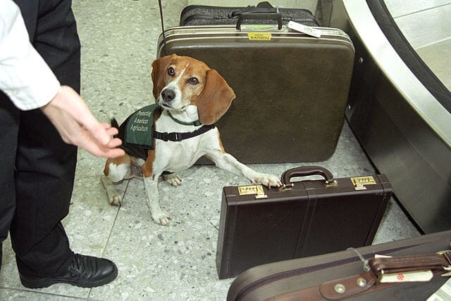 The Beagle Brigade programme averages around 75,000 seizures of prohibited agricultural products a year