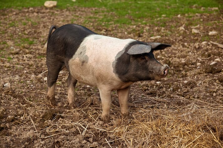 Saddleback pig breed in Cornwall, England