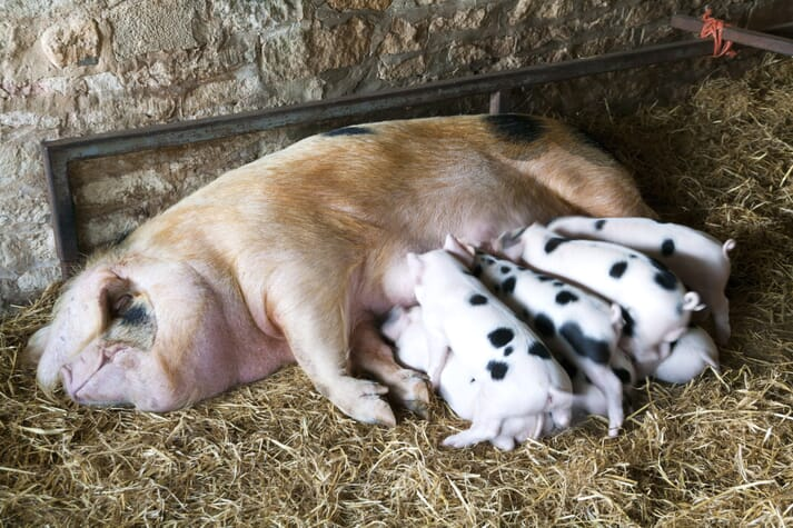 gloucester old spot sow with her piglets