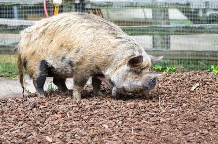 Kune Kune pig breed